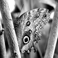 butterfly in black and white by imtl