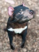 Curious Tasmania Devil by 88-Lawstock