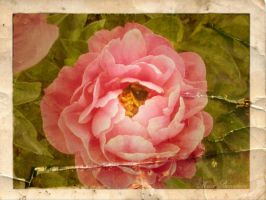 Vintage Garden - Peony by SamanthaLenore