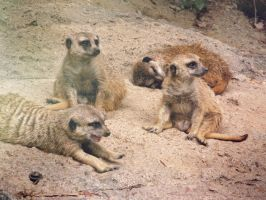 Expression of the Meerkat by SprenklePhotography