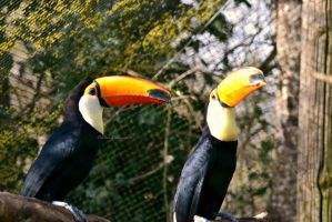 Two Toucans by EHilsdonPhotography