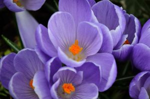 CROCUS by major-holdups