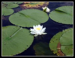 Lillypad by MillerTime30