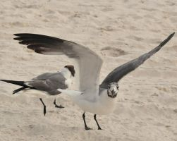 Sea Gull 13 by Schwartze