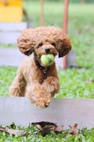 Flyball 01 by PoodleSchmoodle