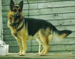 Madras - German Shepherd by the-other1