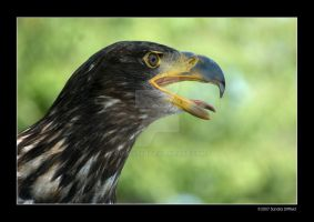 Eagle by grugster