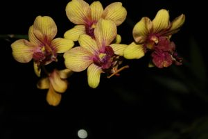 Orchid in the Night by ren241295