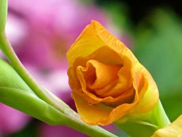 Yellow opening up by NathansMommy1787