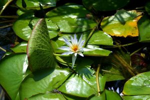 The Egyptian Lotus by Phate1596