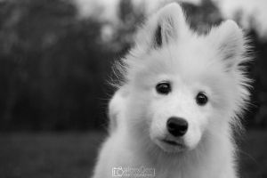 Samoyed by aleexdee