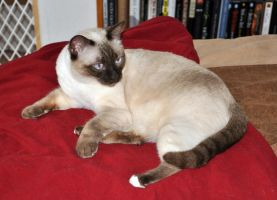 Siamese Cat 1 by Robriel-Stock