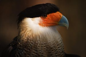 Crested Caracara IV by secondclaw