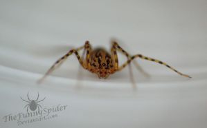 Another Spitting Spider - Scytodes thoracica by TheFunnySpider