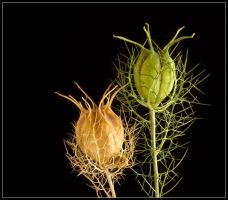 LOVE IN A MIST SEED HEADS by THOM-B-FOTO