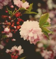 Cherry Blossom by Lacybug