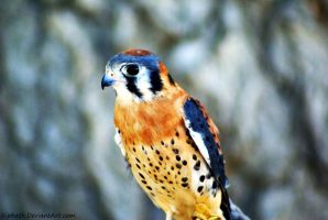 American Kestrel by Riphath