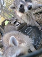 Young Raccoons 11 by Windthin
