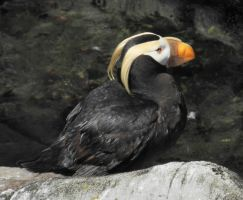 tufted puffin by hazellucy