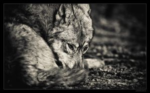 Wolfy by miki3d