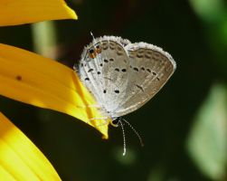 Eastern Tailed-Blue...,, by duggiehoo