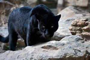 A black panther is focused on me... by Seb-Photos