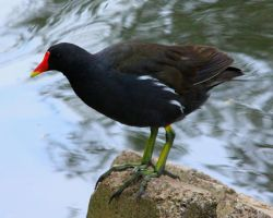Moorhen by henzunducks