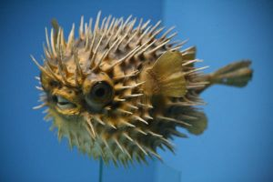 Blowfish Stock by Malleni-Stock