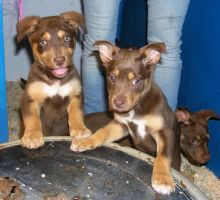 Kelpie Puppies by Digimaree