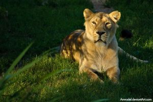 Lioness by amrodel