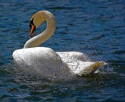 swan action shots in color. by LubelleCreativeSpark