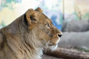 African Lion.10. by HecklingHyena