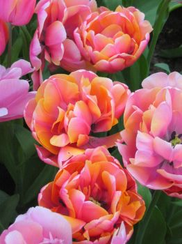 Tulips by bearettePat