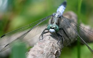 Dragonfly I by twisteDtenDerness