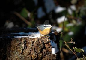 In the spotlight - Red-breasted Nuthatch by Spirit-whales