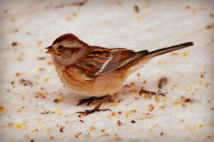 Chipping Sparrow by donnatello129