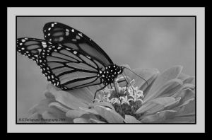 Monarch 5-BW by picworth1000wrds