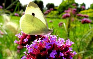 White butterfly on the top of a tiny indigo mount by Cloudwhisperer67