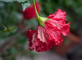 Red Hibiscus by muffet1