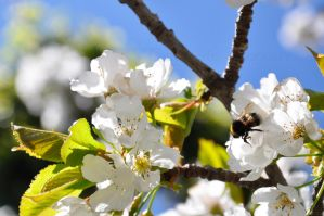 Bee in a cherry tree 2 by Gwenabidule
