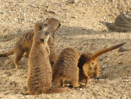 Stock - Meercats 3 by ladykraut