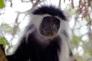 Colobus Delight by DeviantTeddine