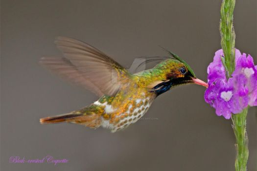 Black-crested Coquette by Jamie-MacArthur