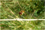 Dragonfly. by inparadise
