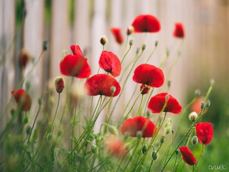 Return of the Poppies by tvurk