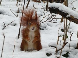 Squirrel 9 by Cundrie-la-Surziere