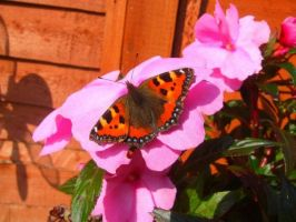 Small tortoiseshell butterfly by velar1