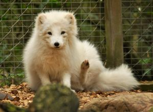 Lueneburger Heide Arctic Foxes 04 by windfuchs