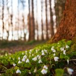 Snow Drops in Spring by mole2k