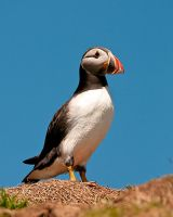 Puffin 1b by pixellence2